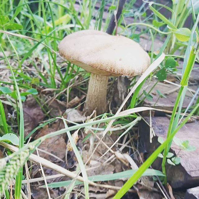 1 июня, 1-ый гриб на нашем участке. #1июня #первый #гриб #участок #кузницауглебыча
